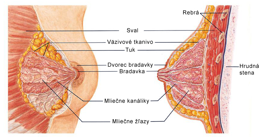 Anatómia prsníka