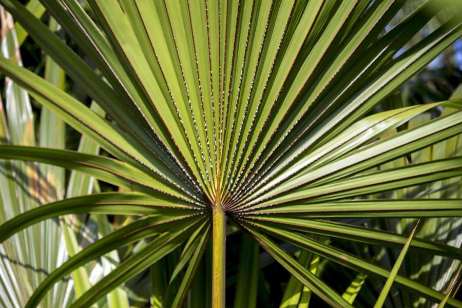 Serenoa plazivá trpasličia palma - Megaprsia.sk